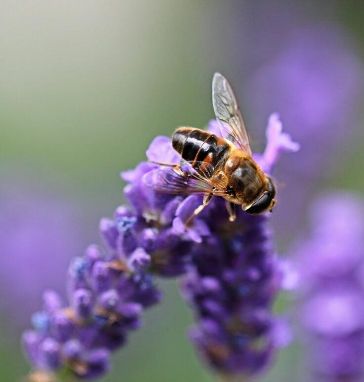 Lavendel: die Blaue Blume der Romantik