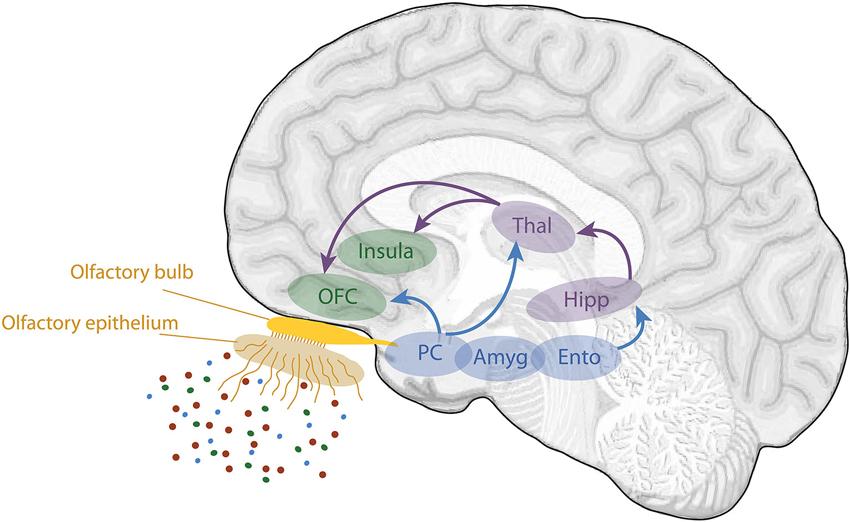 Die wichtigsten Riechzentren im Gehirn. Der Riechkolben ist der
